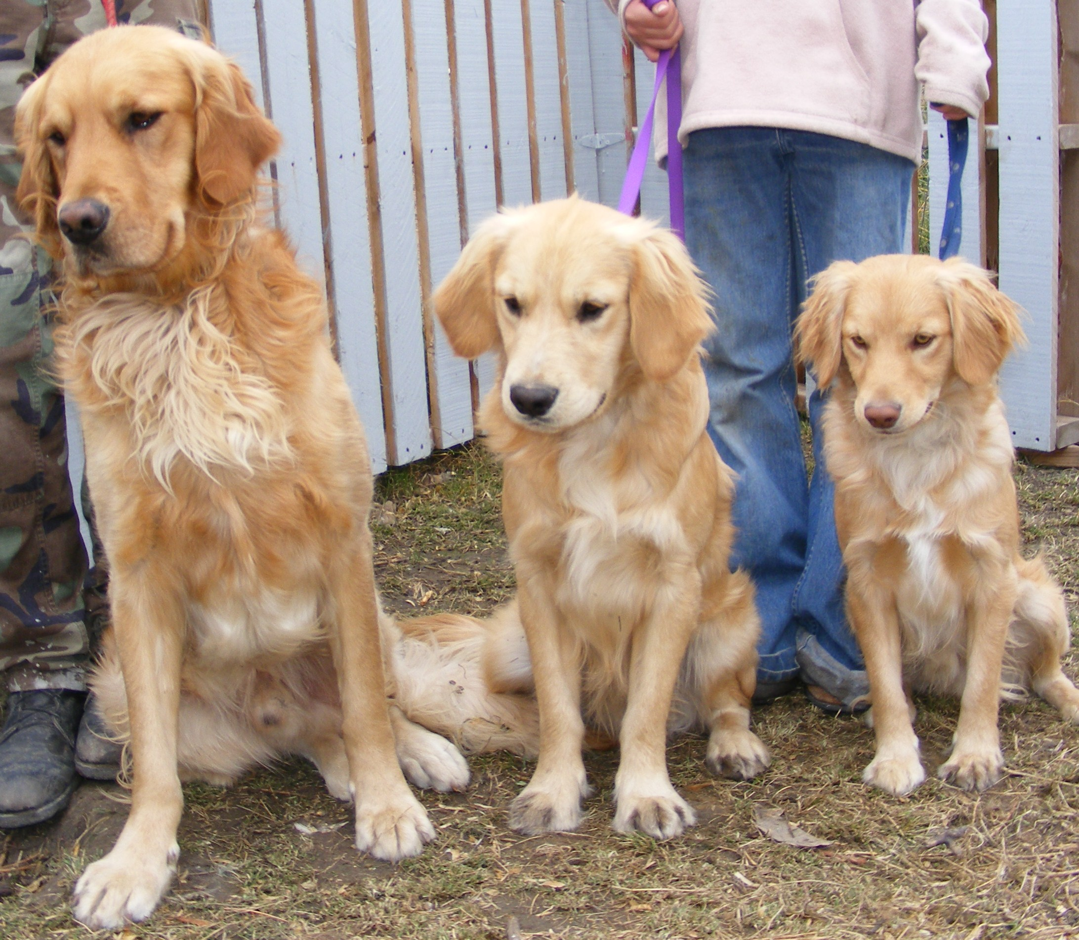 ABOUT Mini Goldens